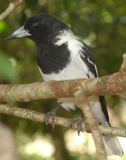 The distinctive Pied Butcherbird of Australia