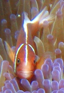 A Pink Anemonefish peeks out from its bulb anemone