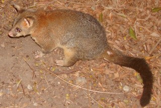 A common ringtail possum in Brisbane Forest Park