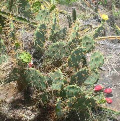 The thorny Prickly Pear Cactus