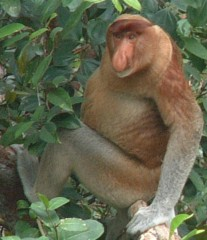 A proboscis monkey perched in the Borneo jungle trees