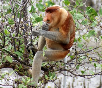 Alpha Male Proboscis Monkey. Yummy mangrove!
