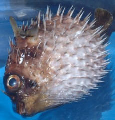Dead spiny puffer fish