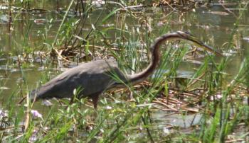 A Purple Heron moves quietly through the reeds.