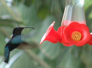 Purple Throated Carib Hummingbird in the rain