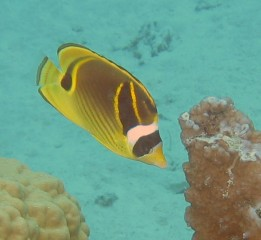 Raccoon Butterflyfish are distinctive with their black masks.