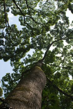Huge trees form rainforest canopy