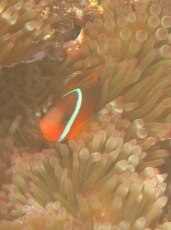 Red-Black Anemone Fish Juvenile