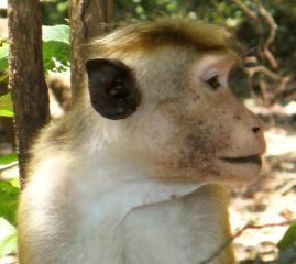 A Red Faced Macaque, Yala National Park