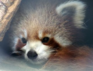 Endangered Red Panda of the Himalayan forest