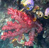 Red soft corals and bright tunicates are common in Raja Ampat.