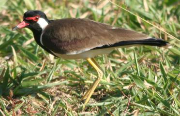 A Red-wattled Lapwing stands guard over its egg.
