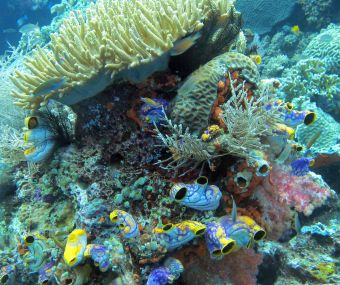 Heart ascidians, soft pink coral & leather coral, Raja Ampat
