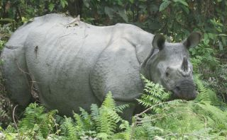 Asian one-horned rhinoceros, Jaldapara Wildlife Preserve, India