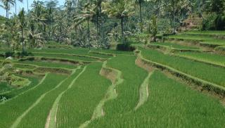 Beautifully terraced rice fields in central Bali
