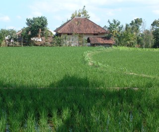 Rice fields of highland Lombok.