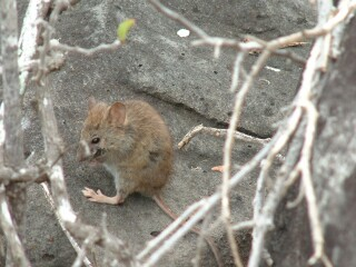 These advenurous little mammals are commonplace on Santa Fe Island.