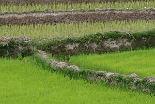 Early settlers from Indonesia introduced rice cultivation to Madagascar