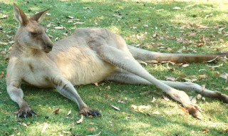 Eastern Grey Kangaroo lounges in the shade out of the mid-day sun