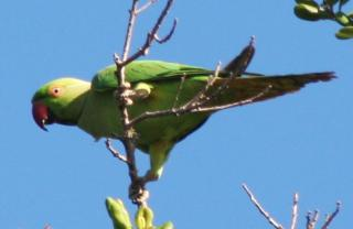 The Rose Ringed Parakeet in Yala National Park