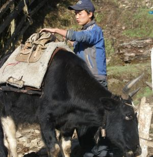 Young yak man saddles his tzo, Sikkim, India