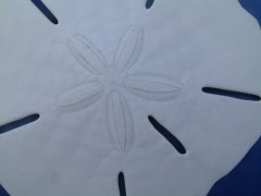 Sand Dollar close up