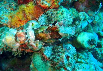 Scorpionfish on Arsenal Bommie