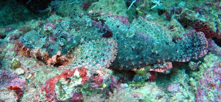A Scorpionfish blends perfectly against the reef, Triton Bay