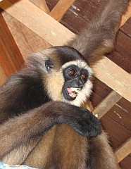 A gibbon screaming its displeasure in the shelter