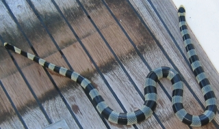 The Banded Sea Krait's bite is deadly. Luckily they are very docile