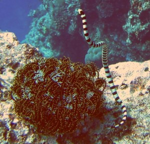 Sea snakes were pretty common in Tonga