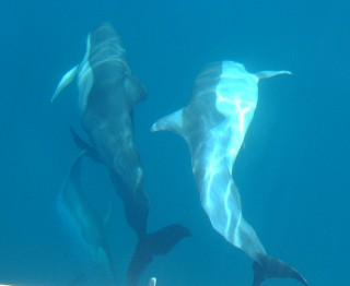 Side and belly view of Short-Beaked Common dolphins