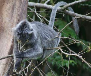 A Silver Leaf Monkey strips a young leaf from a branch. Yum.!