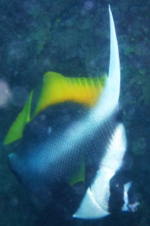 The Singular Bannerfish