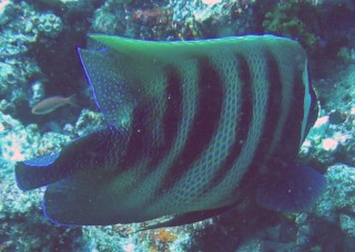 TheSix-Banded Angelfish foraging