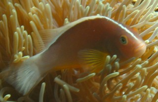 Pretty fish, yucky name. Skunk Anemonefish