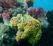 Soft coral in eastern Indonesian waters