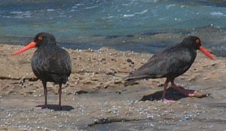 Sooty Oystercatchers, endemic to Australia