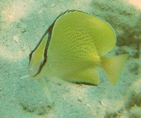 Face-to-face with a speckled (millet seed) butterflyfish.