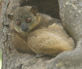 Northern Sportive Lemur in its tree home