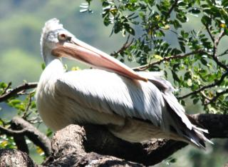 Spot-Billed or Gray Pelican, Kandy Lake