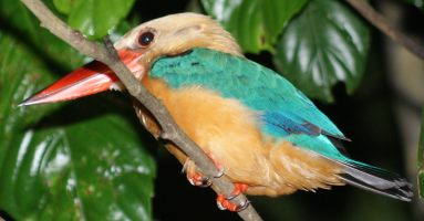 Stork-billed Kingfisher Pelargopsis capensis