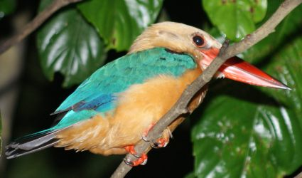 Stork-billed Kingfisher, seen in Borneo
