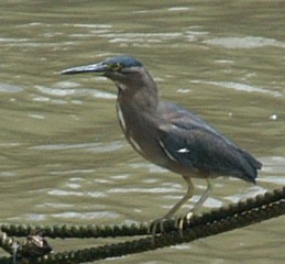 A Striated Heron on mooring lines, Brisbane River