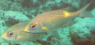 Striped Large-Eye Bream