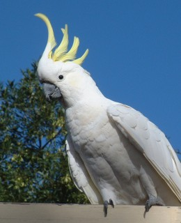 A sulfur-crested cockatoo on a porch rail in Canberra