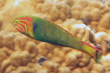 Sunset wrasse, adult (terminal) phase