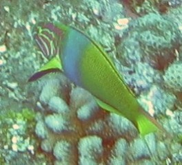 Sunset Wrasse, intermediate phase