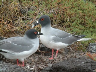 A pause between mutual preening.Two swallow-tailed gulls on Plaza Is.