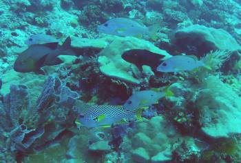 Sweetlips and large reef fish with plate coral